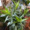 Dracaena Song of India indoor house plant available for delivery of collection. Beautiful variegated leaves