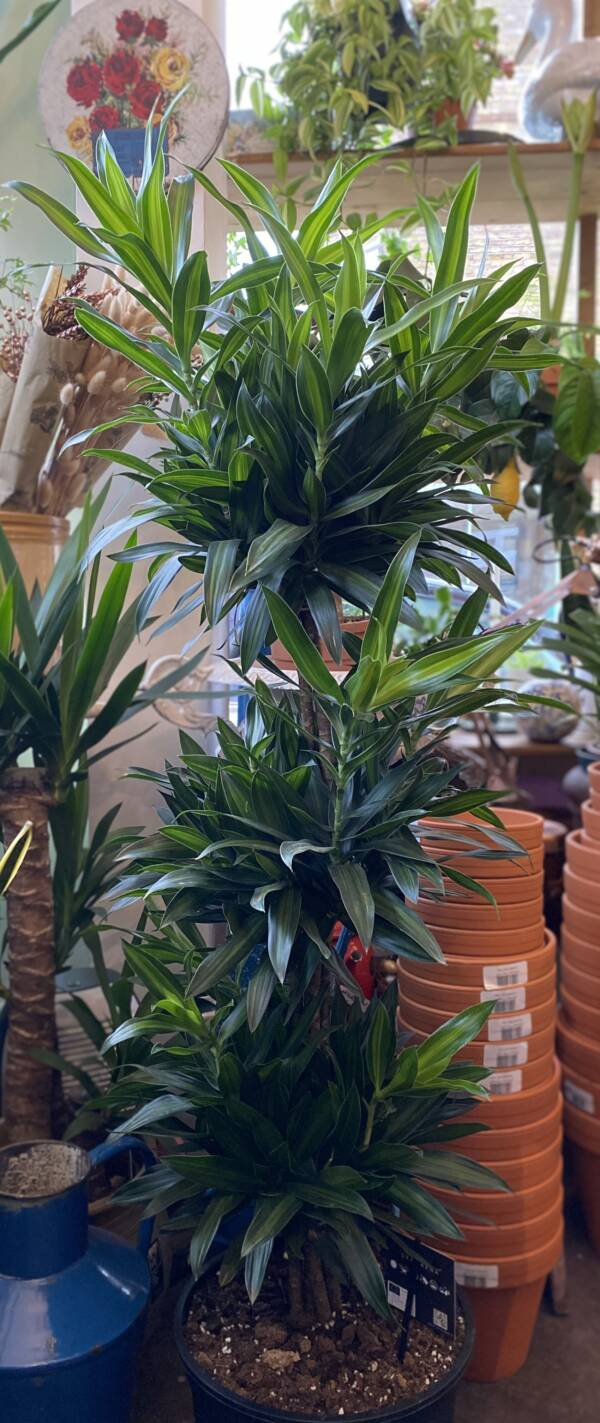 Large indoor Dracaena plant, song of Jamaica for sale in West Hampstead and North Kensington shop