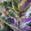 Quality house plants for sale online or in store with Holly and Nikki In the Garden. Notting Hill, Kensal Rise, Ladbroke Grove, West Hampstead and Queens Park