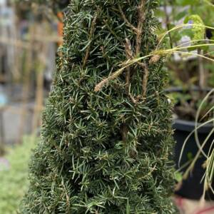 Evergreen taxus conical, garden plant for sale