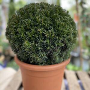Evergreen tightly clipped garden plant in the shape of a sphere. Super smart city slicker!