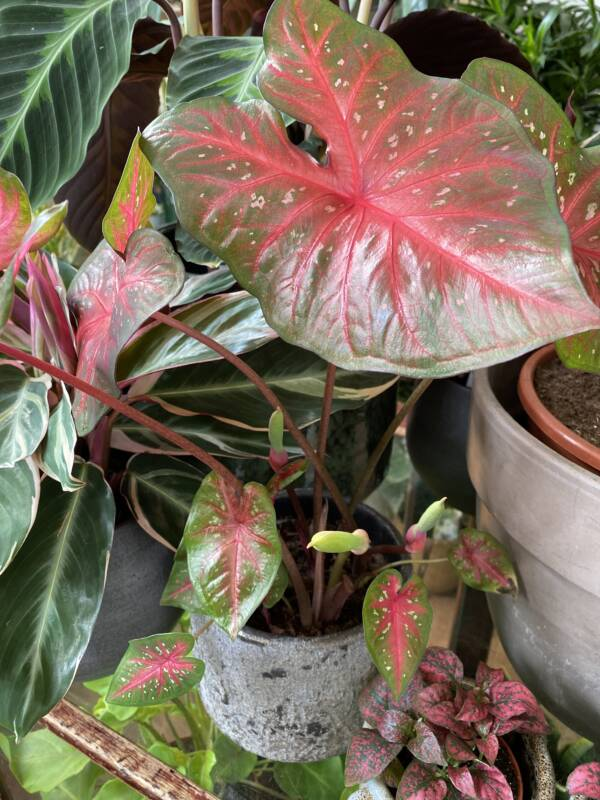 Stunning and detail rose coloured Caladium plant in a boutique plant shop in North West London. Holly and Nikki from In the Garden