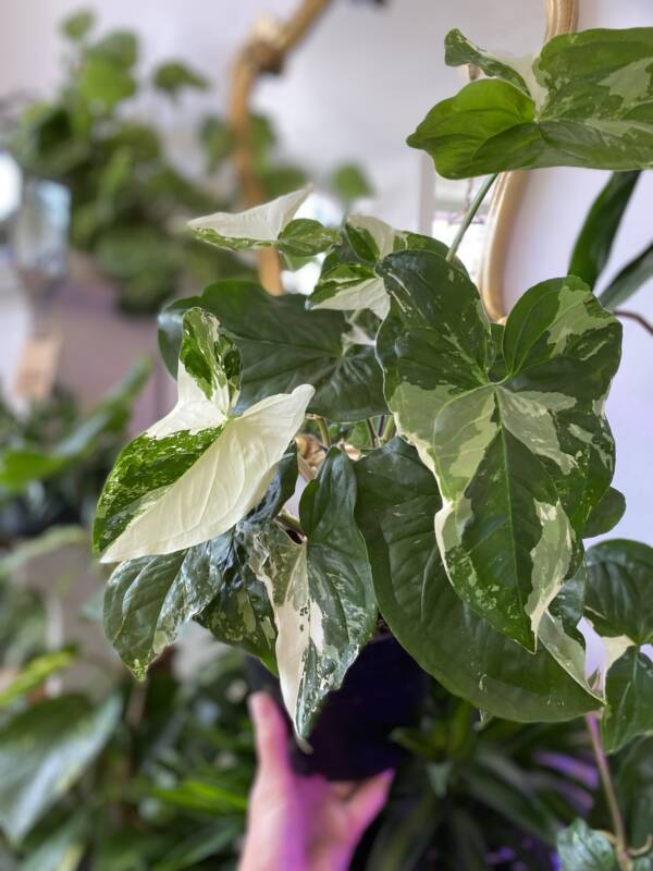 RARE INDOOR VAREIGATED PLANTS AVAILABLE IN INDEPENDENT PLANT SHOP IN WEST HAMPSTEAD, LONDON