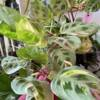 Beautifully rare variegated indoor maranta plant, family business in North West London
